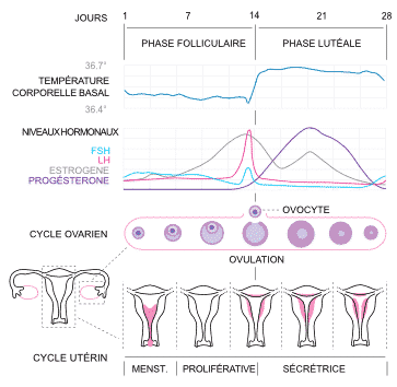 phase of the menstrual cycle